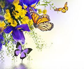 Fotos Schwertlilien Chrysanthemen Schmetterlinge Insekten Großansicht Monarchfalter Blumen Tiere