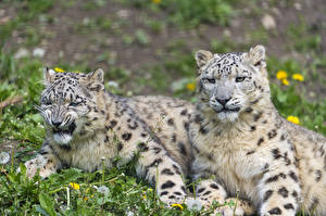 Picture Big cats Snow leopards 2 Grass Animals