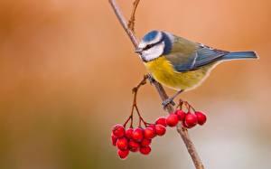 Bilder Vögel Beere Eberesche Ast Cyanistes ein Tier