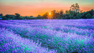Fotos Lavendel Felder Sonnenaufgänge und Sonnenuntergänge Sonne Lichtstrahl