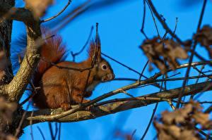 Hintergrundbilder Nagetiere Hörnchen Ast Tiere