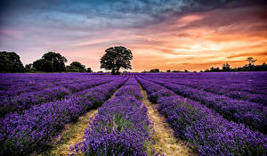 Bilder Grünland Sonnenaufgänge und Sonnenuntergänge Lavendel Landschaftsfotografie Bäume Natur