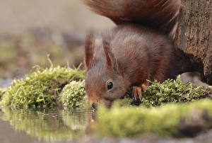 Photo Squirrels Water Closeup Rodents Moss Animals