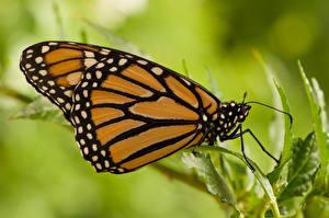 Fotos Insekten Schmetterlinge Nahaufnahme Monarchfalter