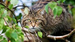 Fotos Katze Blick Ast Schnurrhaare Vibrisse Scottish Wildcat Tiere