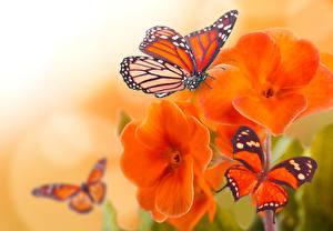 Bilder Schmetterling Großansicht Monarchfalter ein Tier