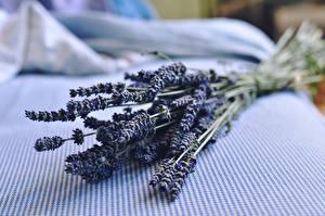 Desktop hintergrundbilder Lavendel Hautnah Blumen