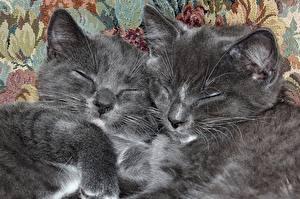 Bilder Katzen Kätzchen Zwei Schlafendes Grau Tiere