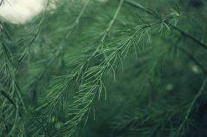 Fotos Großansicht Ast Fichten Grün Natur