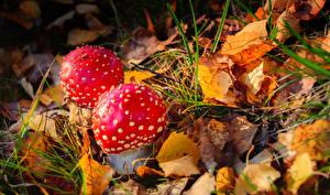 Hintergrundbilder Herbst Großansicht Pilze Natur Wulstlinge Blattwerk Gras