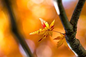 Hintergrundbilder Herbst Großansicht Blattwerk Ast Natur