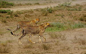 Picture Cheetahs Big cats Two Grass animal