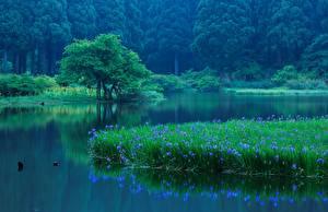 Images Lake Irises Japan Forest Trees Takashima, Shiga Prefecture Nature