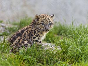 Hintergrundbilder Irbis Jungtiere Große Katze Gras Tiere