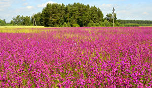 Fotos Acker Sommer Lavendel Natur Blumen