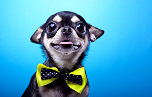 Pictures Dogs Chihuahua Bowknot Staring Bow tie Animals