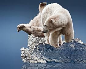 Photo Bears Polar bears 2 Ice Animals