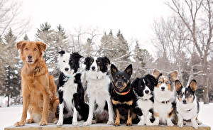Hintergrundbilder Hunde Border Collie Welsh Corgi Retriever Australian Cattle