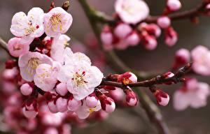 Hintergrundbilder Blühende Bäume Japanische Kirschblüte Rosa Farbe Ast Blumen