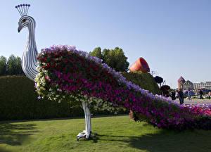 Bilder Parks Petunien Pfau Design Rasen Dubai Miracle Garden Blüte