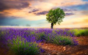 Fotos Lavendel Bäume Wolke Natur