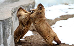 Wallpaper Rodents Marmot Fight Two Animals