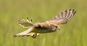Fotos Vogel Falken Flug