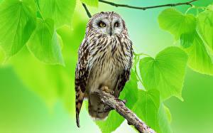 Hintergrundbilder Eulen Vögel Ast Blattwerk Tiere
