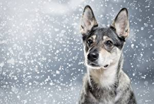 Hintergrundbilder Hunde Shepherd Blick Schneeflocken ein Tier