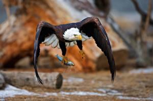 Photo Birds Eagle Hawk Bald Eagle Flight