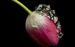 Pictures Tulips Frog Closeup Two Drops amazon milk frogs, ampgibians animal Flowers