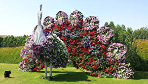 Hintergrundbilder VAE Park Petunien Dubai Pfauen Rasen Miracle Garden Natur Blumen