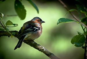 Fotos Vögel Ast Blattwerk finch Tiere