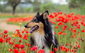 Pictures Dog Poppies Collie Flowers