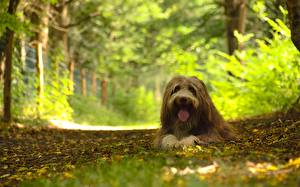 Photo Forests Dogs Staring Collie Bearded Collie