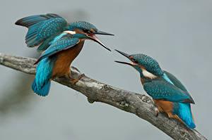 Hintergrundbilder Vögel Großansicht Eisvogel Zwei Schnabel Ast Schlägerei Tiere