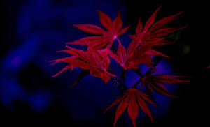 Fotos Herbst Großansicht Blatt Ahorne Ast Natur
