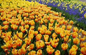 Picture Tulips Many Orange Flowers