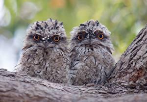 Wallpapers Owl Birds Glance 2 Animals