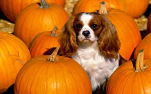 Fotos Hunde Kürbisse Gemüse King Charles Spaniel ein Tier Lebensmittel