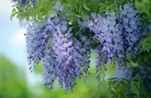 Bilder Blauregen Violett Ast Blumen