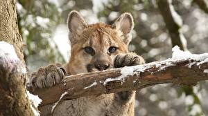 Fotos Pumas Jungtiere Winter Ast Starren Tiere
