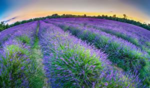 Bilder Lavendel Felder Natur Blumen