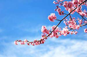 Bilder Blühende Bäume Kirsche Himmel Ast Japanische Kirschblüte Blumen