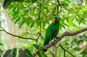 Fotos Papageien Vögel Ast Grün Tiere