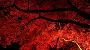 Bilder Herbst Ast Ahorne Nacht Natur