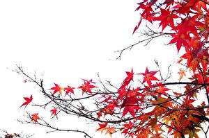 Fotos Herbst Ahorne Blatt Ast Natur