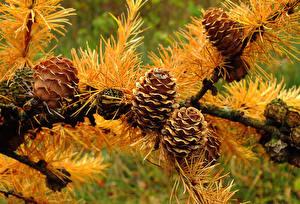 Bilder Herbst Großansicht Zapfen Ast Natur