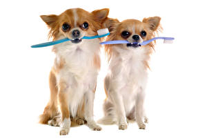 Photo Dogs Chihuahua Two Staring animal