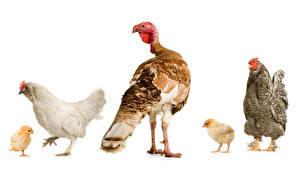 Bilder Vögel Haushuhn Hühner